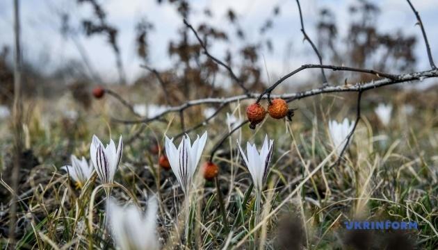 У Запоріжжі зацвіли крокуси