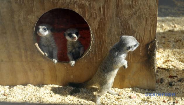 ヴィンニツャ市の動物園、ミーアキャットの赤ちゃんを紹介
