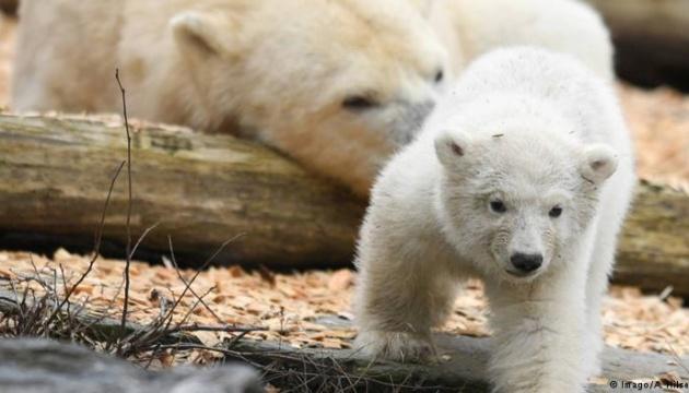 У берлінському зоопарку — аншлаг через біле ведмежа