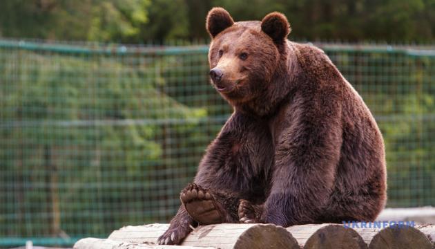 До зоопарку в Нідерландах передадуть двох ведмедів, яких «знайшли» в Укрзалізниці