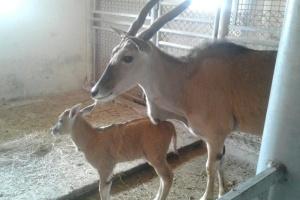 """У """"Подільському зоопарку"""" гвинторога антилопа народила перше дитинча"""