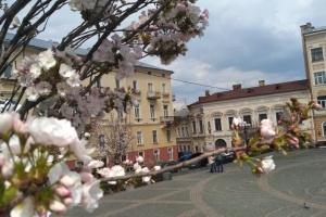 В Черновцах зацвели сакуры
