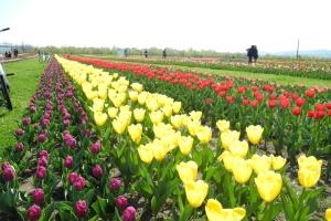 """На Буковині майбутній фестиваль тюльпанів """"розквітнув"""" на 70%"""