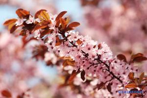 У Києві організували ханамі з нагоди цвітіння сакури