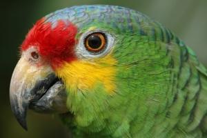 Бразильська поліція затримала папугу з банди наркоторговців