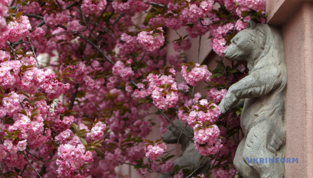 Сакури зацвітуть на Закарпатті за тиждень
