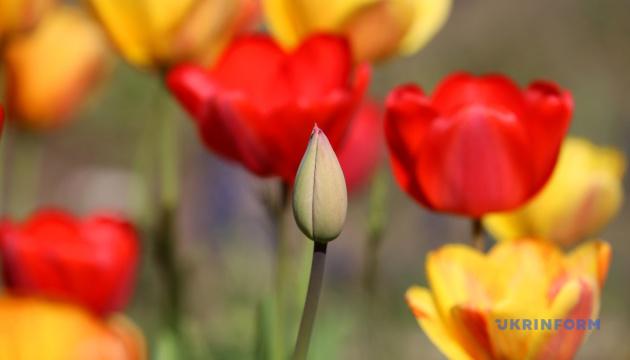 Цветение тюльпанов в