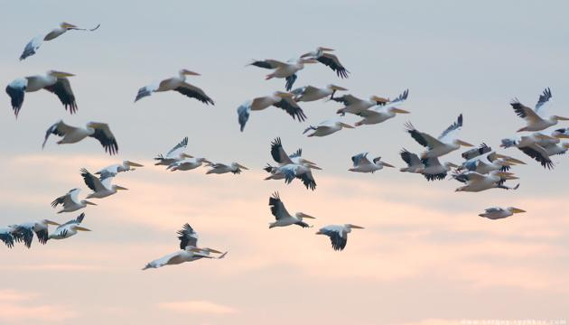 На Кінбурнську косу повернулися пелікани