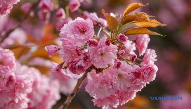 ウジホロド市の桜が満開