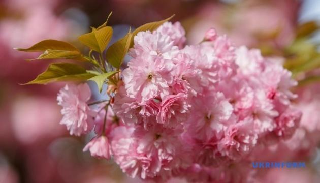 Florecimiento masivo de sakura en Uzhgorod (Fotos)