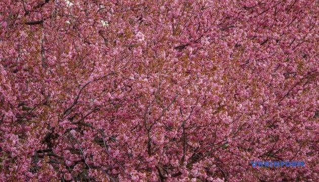У Мукачеві до цвітіння сакур влаштують фестиваль ханамі