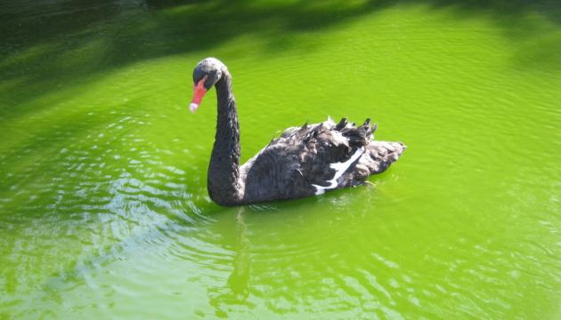 За тиждень до зеленого лебедя