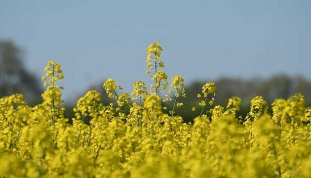 В Україні очікується рекордний врожай ріпаку