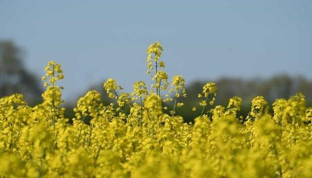 Une récolte record de colza attendue en Ukraine