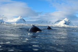 Морські «заповідники» в Антарктиді: до проєкту ЄС може долучитися Україна