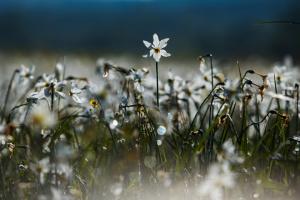 На Закарпатье - пик цветения уникальной Долины нарциссов