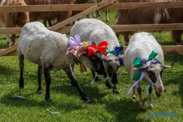 En Transcarpatie, organisation d'une course et d'un concours de beauté chez les moutons