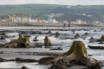 В Уэльсе ураган поднял из моря доисторический лес