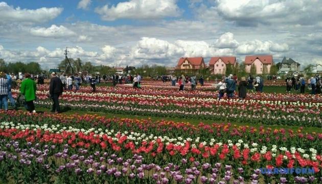 Фестиваль тюльпанів на Буковині відвідали 30 тисяч людей