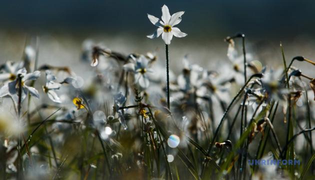 Закарпатську Долину нарцисів заборонять відвідувати у період цвітіння