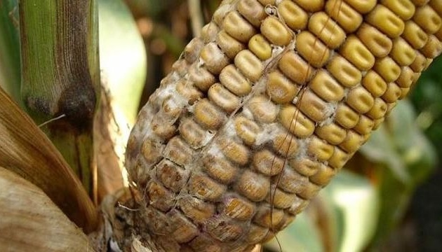 На український ринок не допустили понад 40 тонн зараженої кукурудзи з США