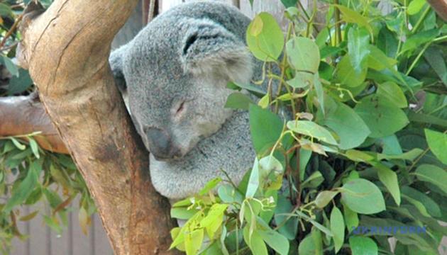 Австралийские коалы вымирают из-за жары и уничтожения лесов