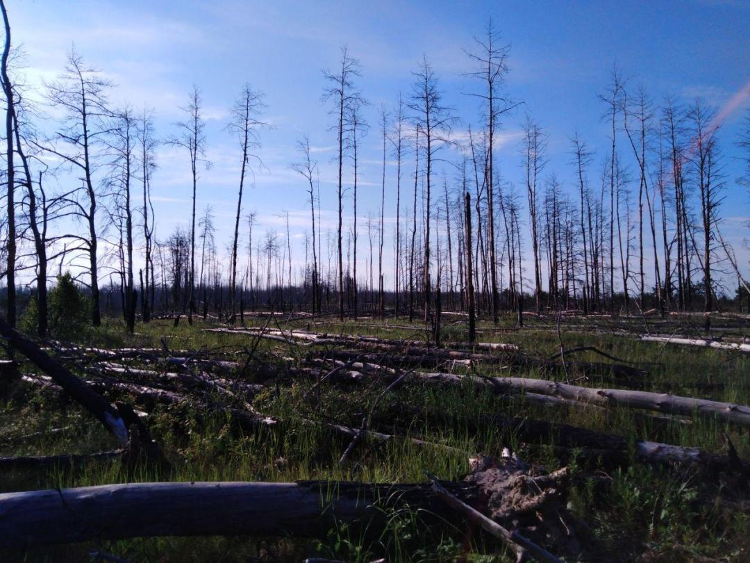 Постраждалий від радіації ліс поблизу Чорнобиля