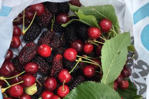 Українцям радять їсти шовковицю та черешні щодня: в чому користь