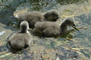 На озері біля вінницького парку народилися лебедята