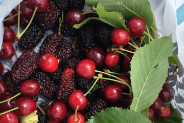 Se aconseja a los ucranianos consumir moras y cerezas cada día, ¿por qué es bueno?