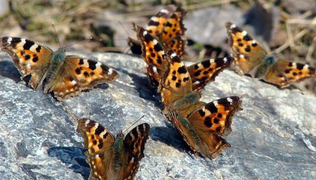 Нашестя метеликів – розплата за людську необачність