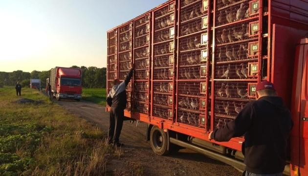 В Україні випустили понад 80 тисяч голубів, завезених із Румунії