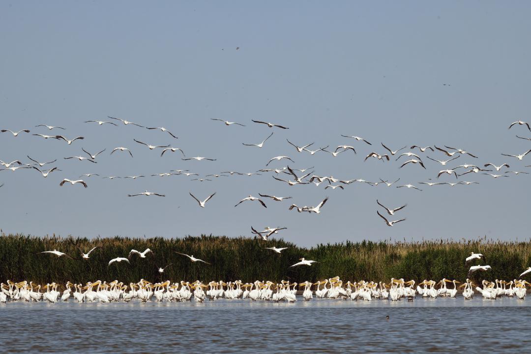 зліт пеліканів рожвих автор Гавриленко