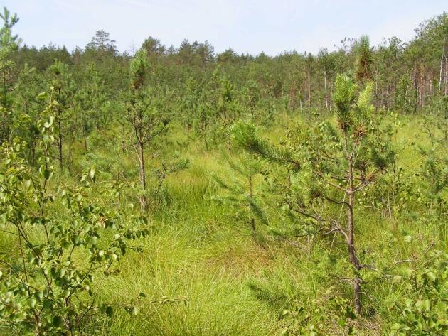 Сосново-сфагнове болото