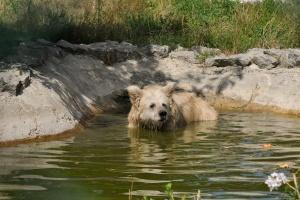 У притулку під Житомиром оселилася рідкісна ведмедиця