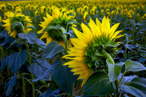 Аграрии Украины начали уборку поздних зерновых культур