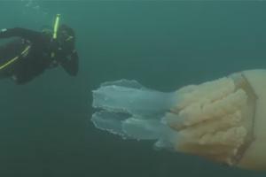 Гігантську медузу помітили біля берегів Великої Британії