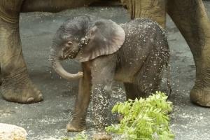 В зоопарке Вены родился слоненок
