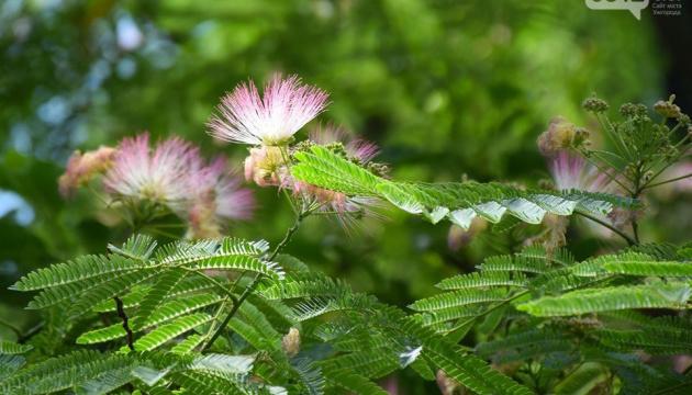В Ужгороді розцвіла унікальна шовкова квітка