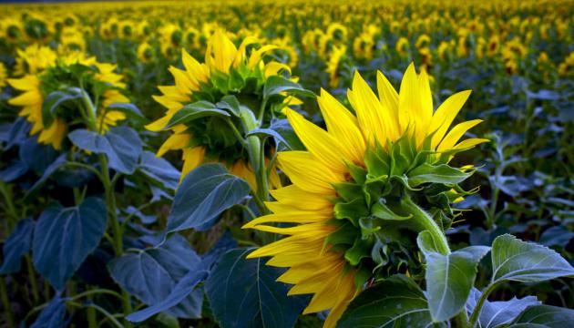 Аграрії України розпочали збирання пізніх зернових культур