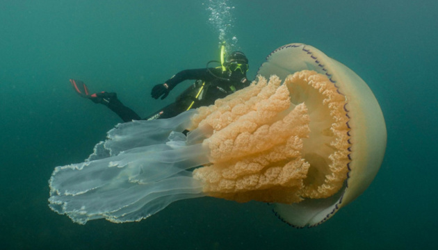 Гигантскую медузу заметили у берегов Великобритании