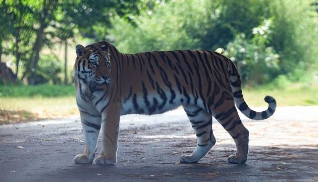 У Миколаївському зоопарку в пари амурських тигрів народилося дитинча