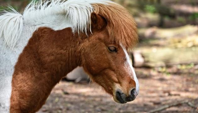 У Києві патрульні ловили поні
