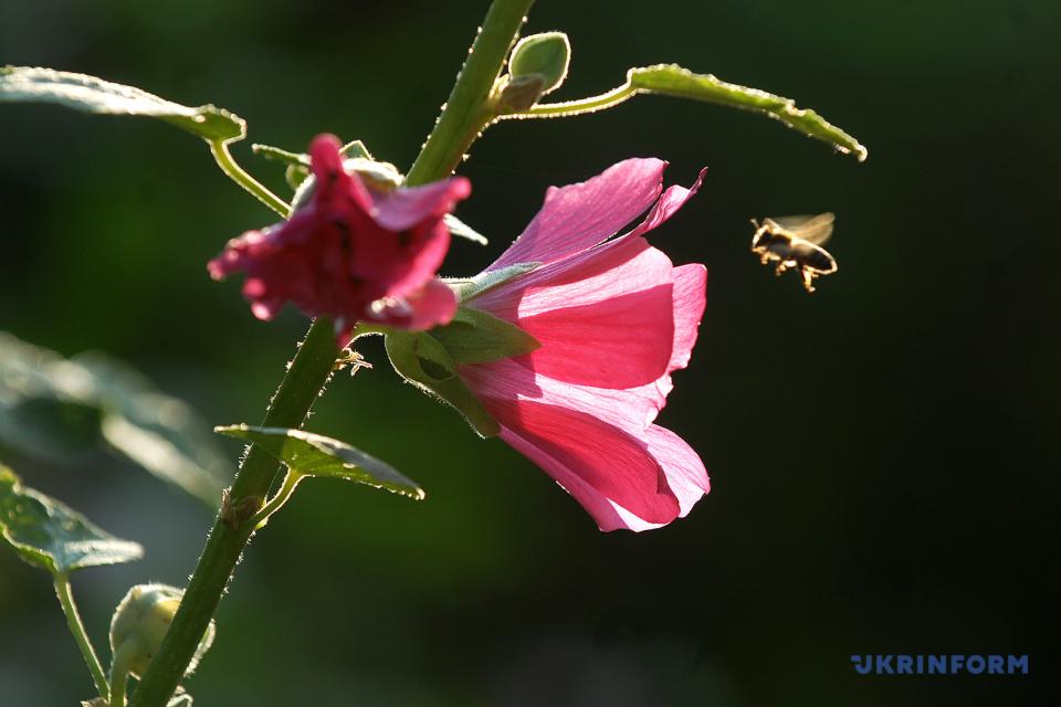 Пора цвітіння мальв / Фото: Олег Снітовський, Укрінформ