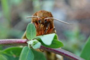 У Чорнобилі помітили унікального метелика