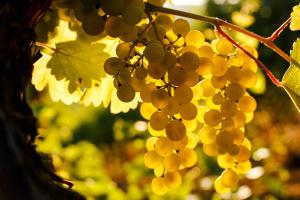 День виноградаря і винороба відзначатиметься у другу неділю листопада - указ