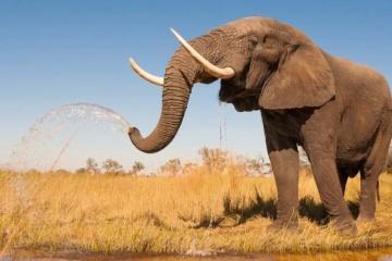 Aujourd'hui marque la Journée mondiale des éléphants