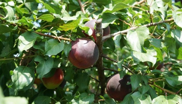 Садоводы Николаевщины вырастили урожай черных абрикосов