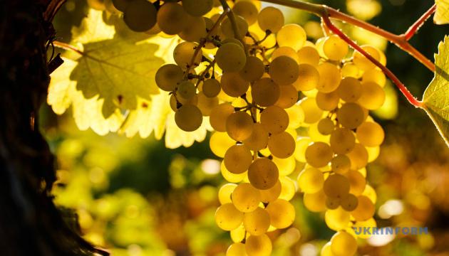 Дегустація, майстер-класи та аукціони: у Львові триває фестиваль винограду та вина