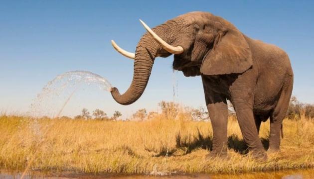 ЄС може ввести обмеження на торгівлю слонячою кісткою